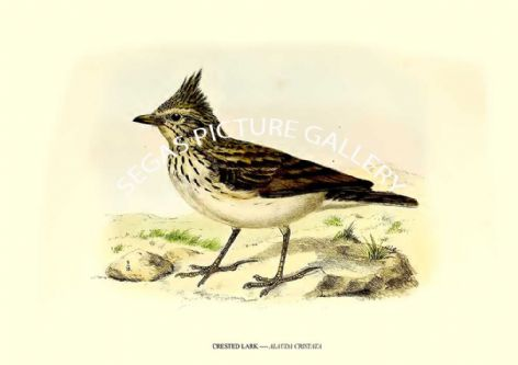 Fine art print of the CRESTED LARK ---- ALAUDA CRISTATA by J G Keulemans (1869-76)